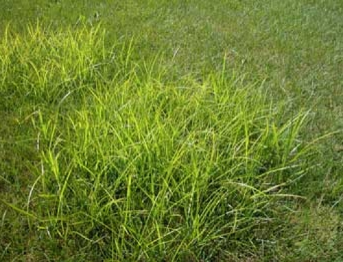 Yellow Nutsedge/Nutgrass/Watergrass