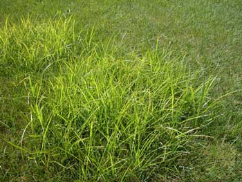 Yellow Nutsedge Nutgr Watergr Martz Bros Lawn Care
