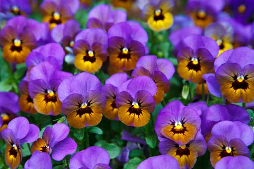 Purple-pansies from spring gardeniing