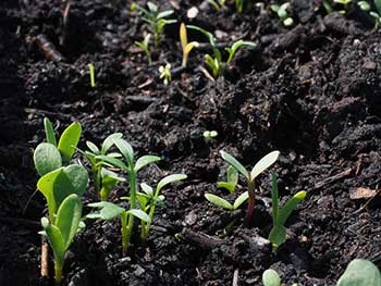 Flower-Seedlings-Growing-in-Dirt