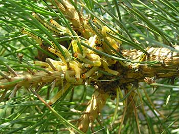 Pine-Sawfly-early-stage