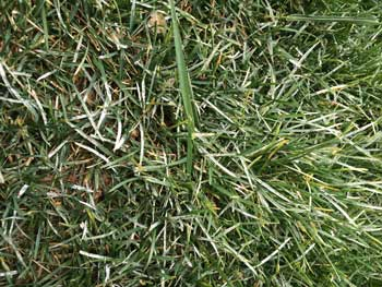 Powdery-Mildew-in-Kansas City Grass