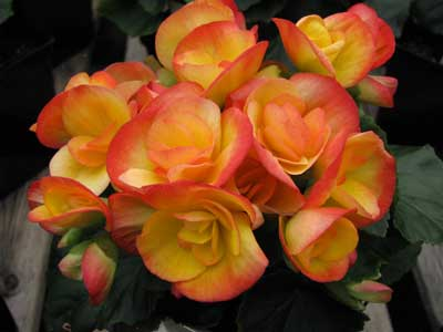 Begonia-for-Flowering-Shade-Garden