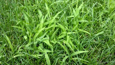 Crabgrass in green grass