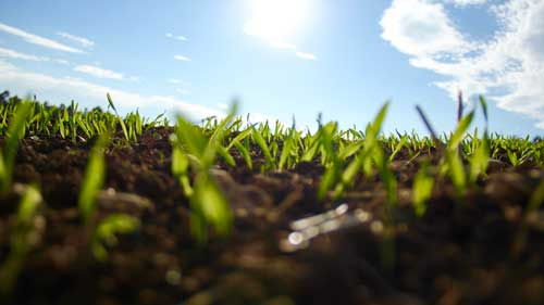 Grass seedlings growing in dirt