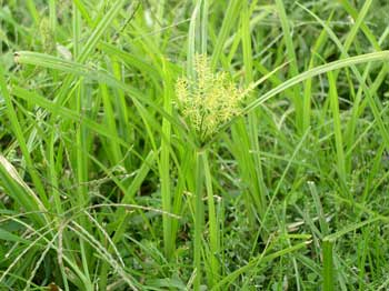 The Truth about Nutsedge