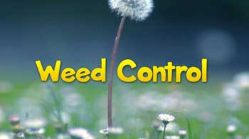 weed-control-with-dandelion