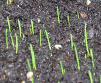 Winter Grass Seedling Care